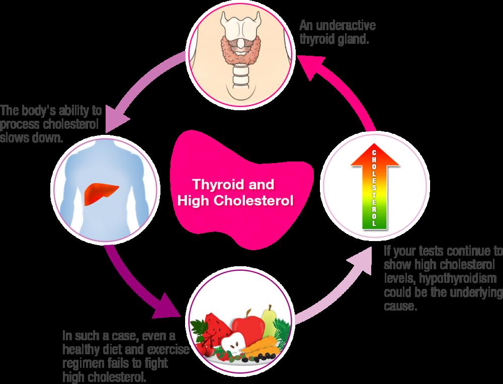 Повышенный холестерин и щитовидная железа